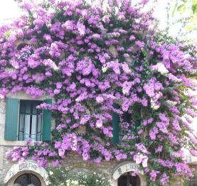 Beautiful bougainvillea