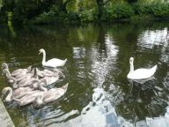 Swans and ducks together on the lake in St Stephen's Green